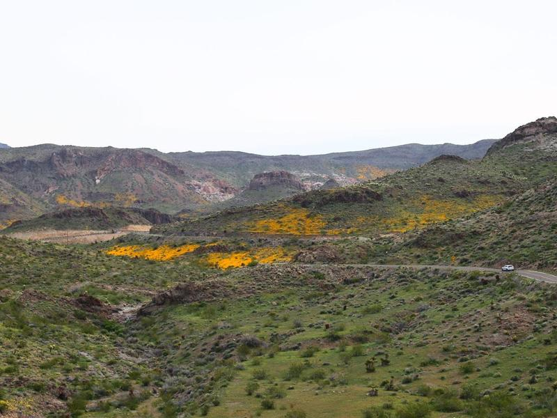 Oatman Hwy in bloom
