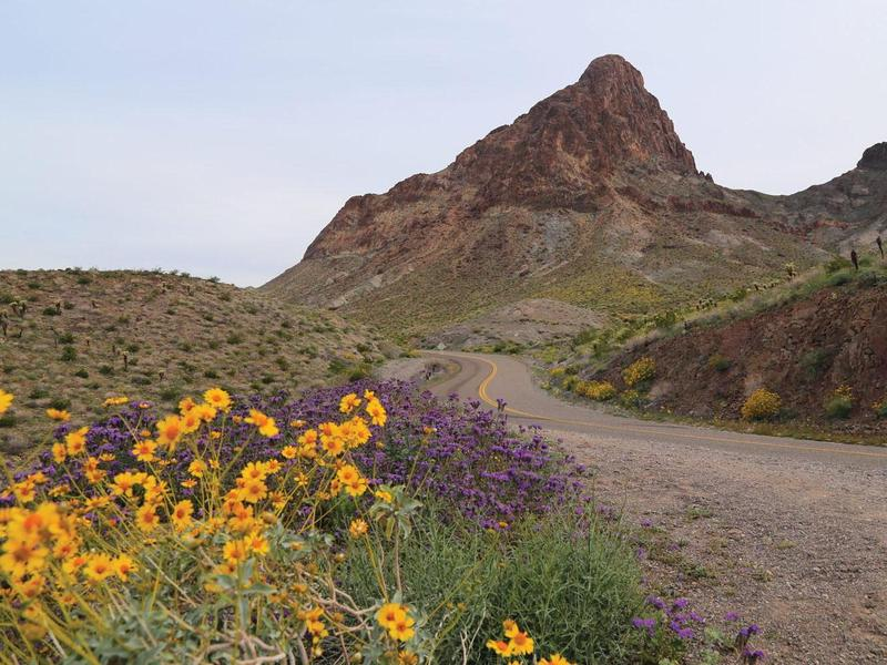 Oatman Hwy at Boundary Cone in bloom