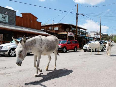 Wild burros own Route 66 in Historic Oatman, Arizona.