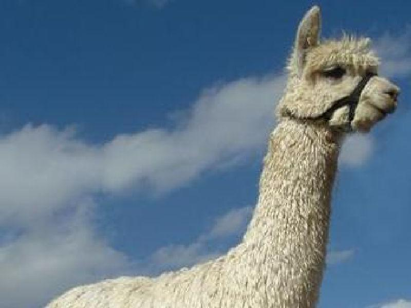 Alpacas of The Southwest - Kosmo